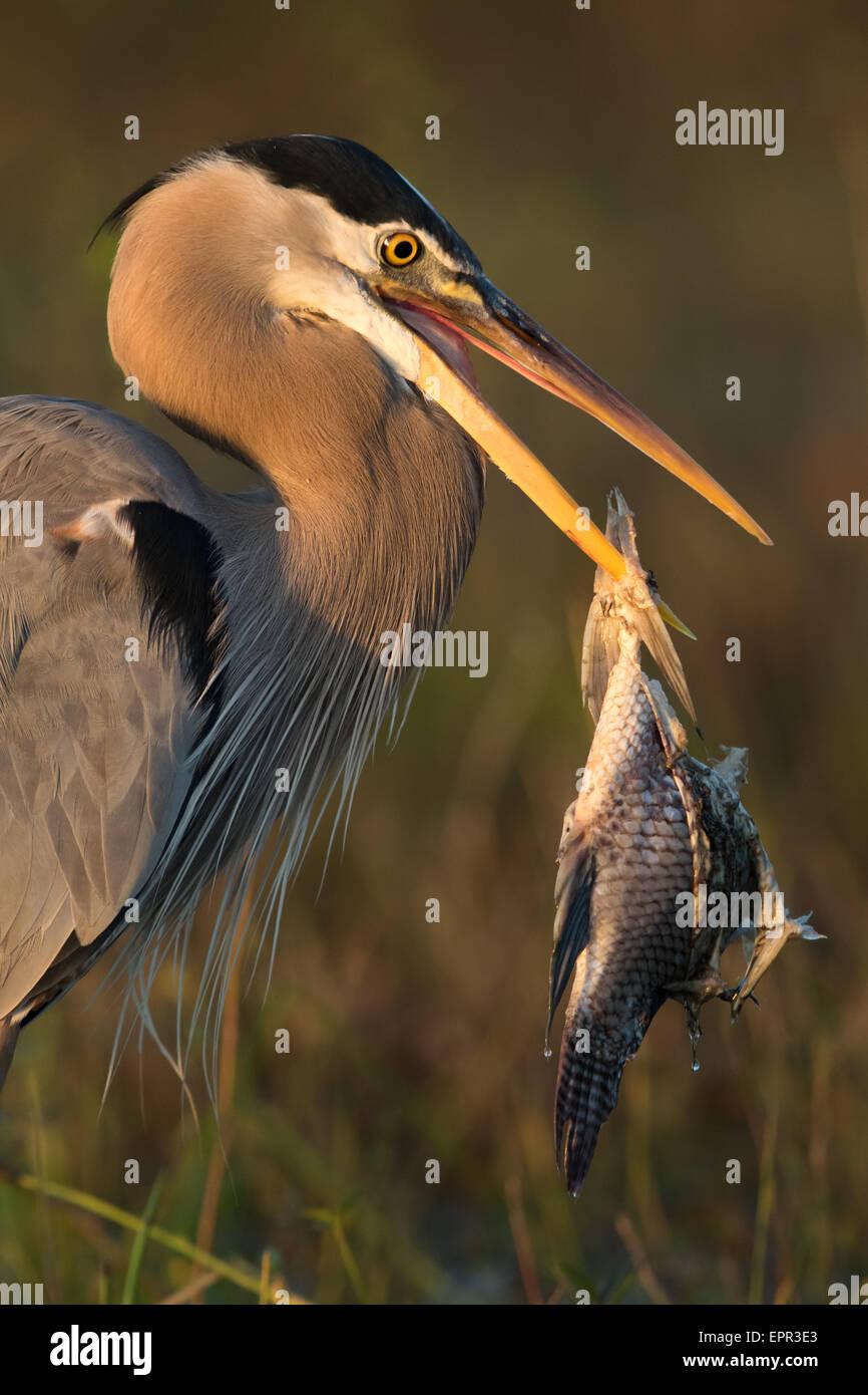 Grand Héron (Ardea herodias) avec gros poissons empalée sur son projet de loi Photo Stock