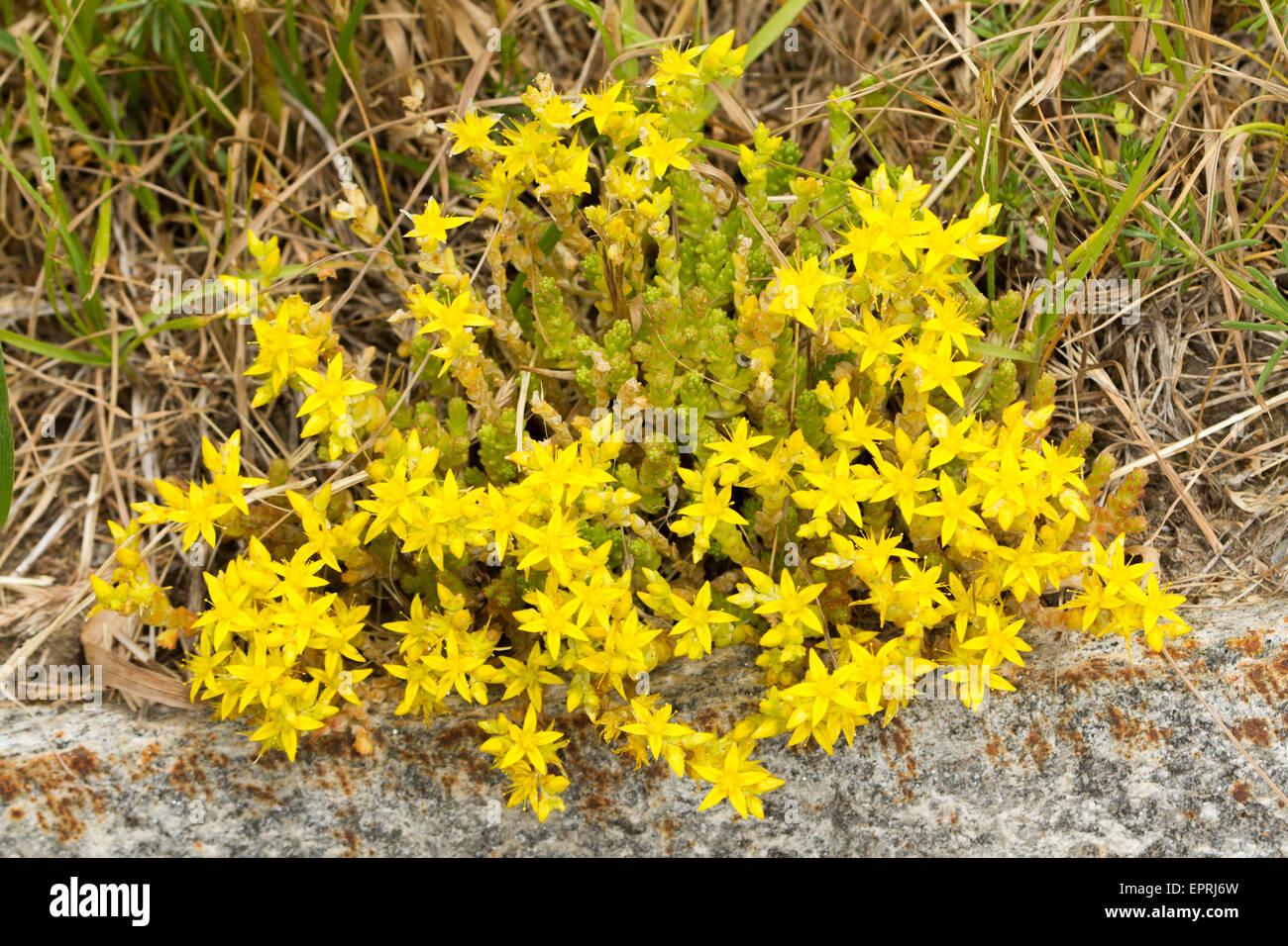 Biting Stonecrop Sedum acre (fleurs) Photo Stock