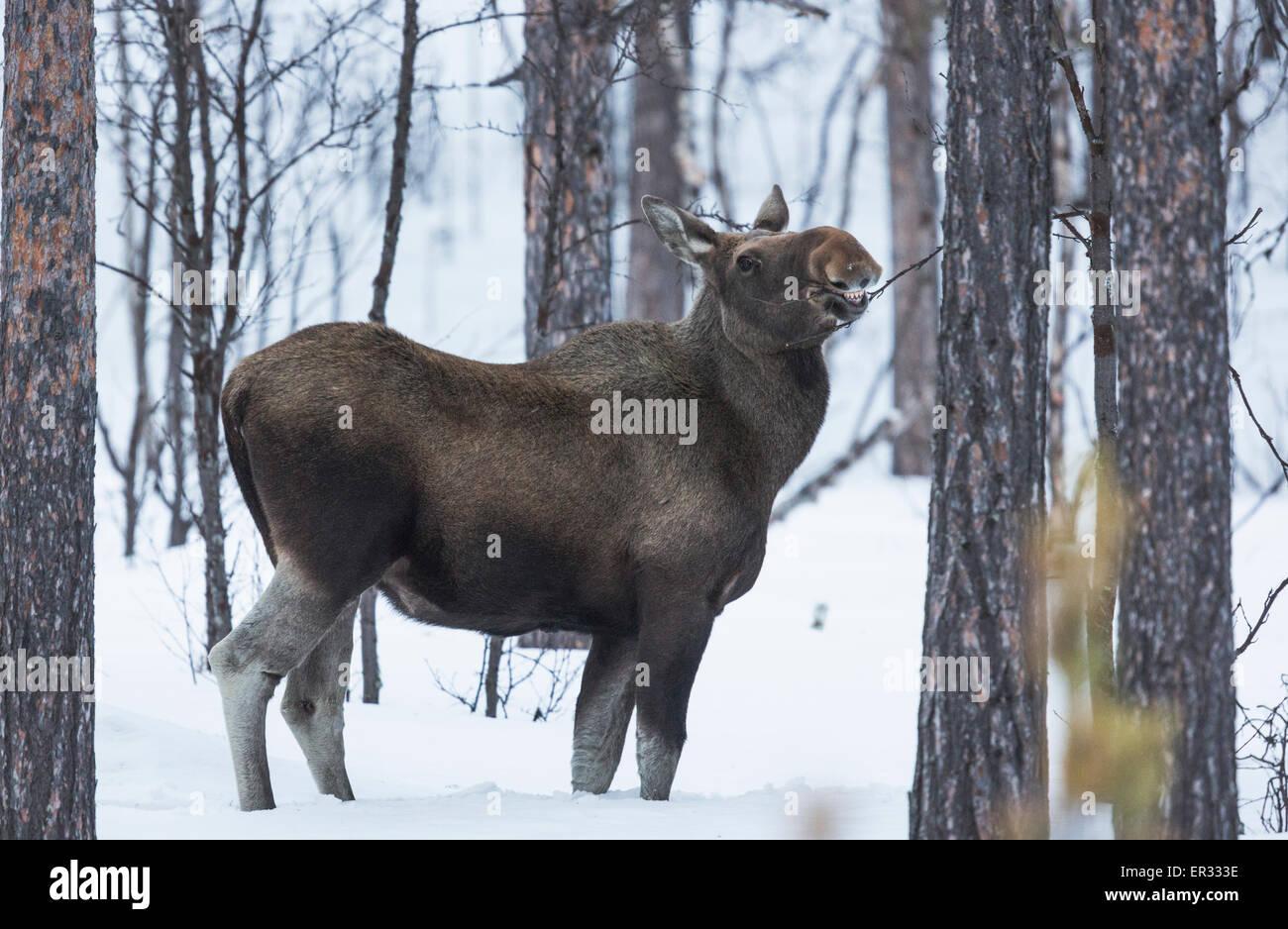, La femelle Orignal Alces alces manger sur un buisson en hiver, Kiruna, en Laponie suédoise Photo Stock