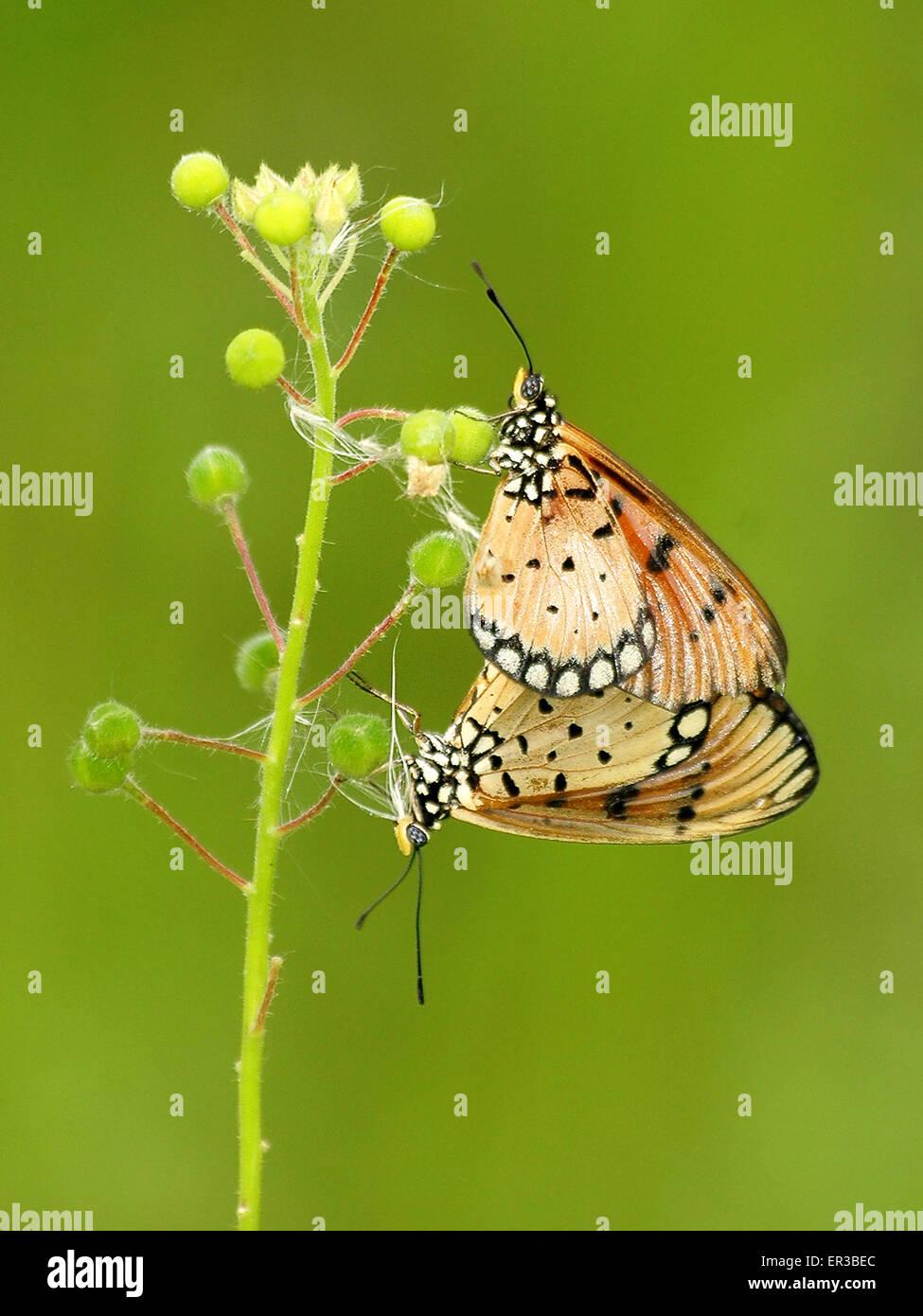 Deux papillons sur une tige de la plante Photo Stock