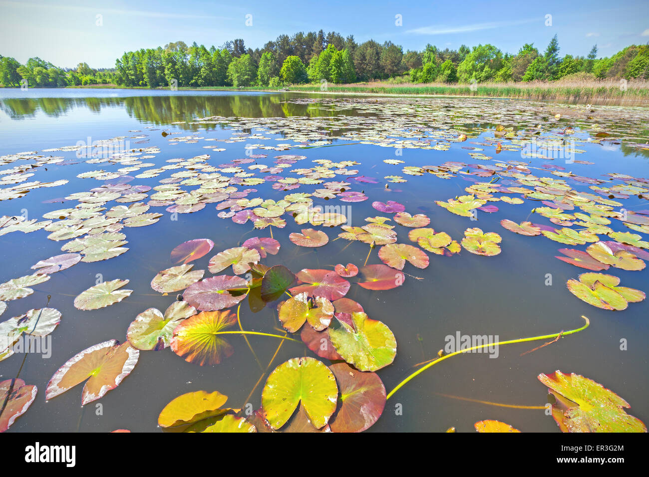 Water Lilies, grand angle de l'été sur le lac. Photo Stock