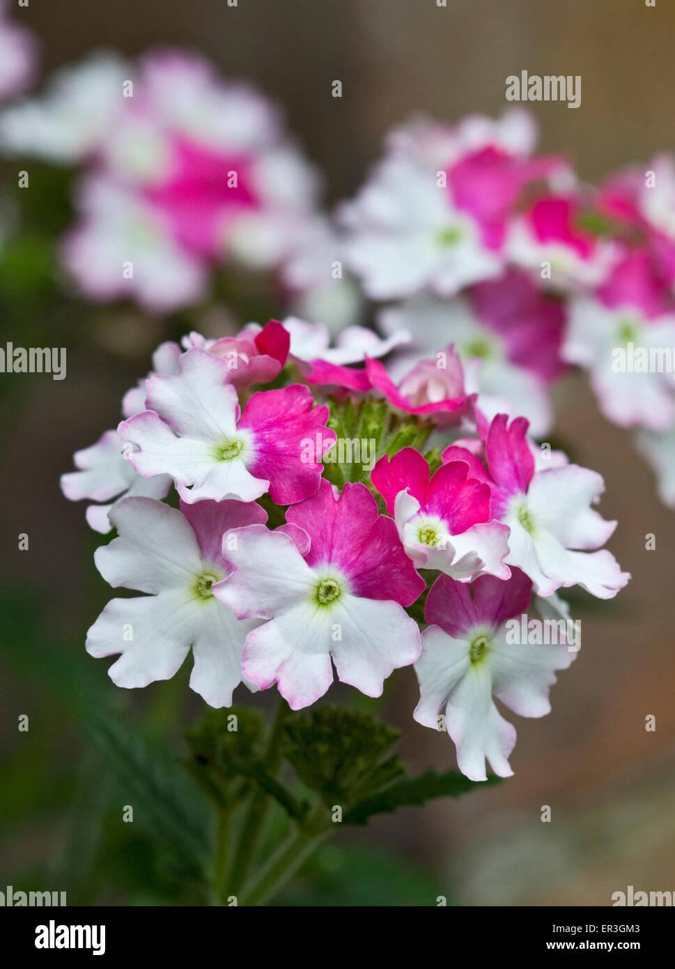 Verveine Rose Lanai Twist Photo Stock