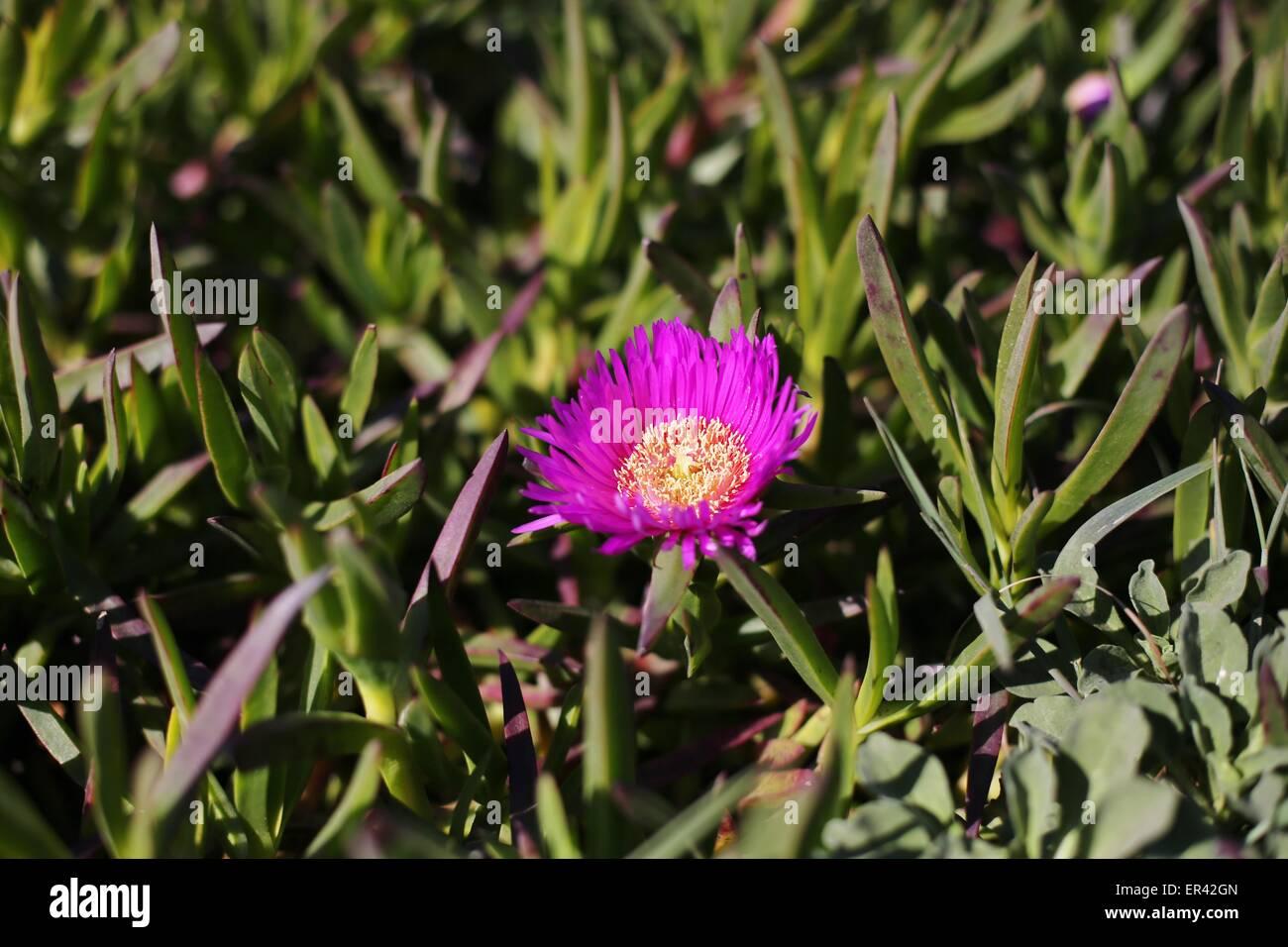 Une Fleur Pourpre Sur L Usine De Glace A Bodega Head En Californie