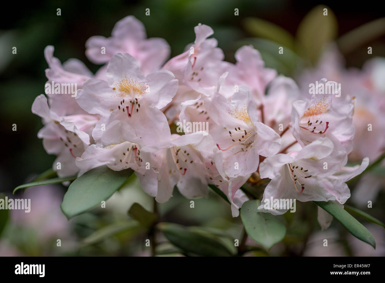 Rhododendron rose fleurs scirpe close up Photo Stock