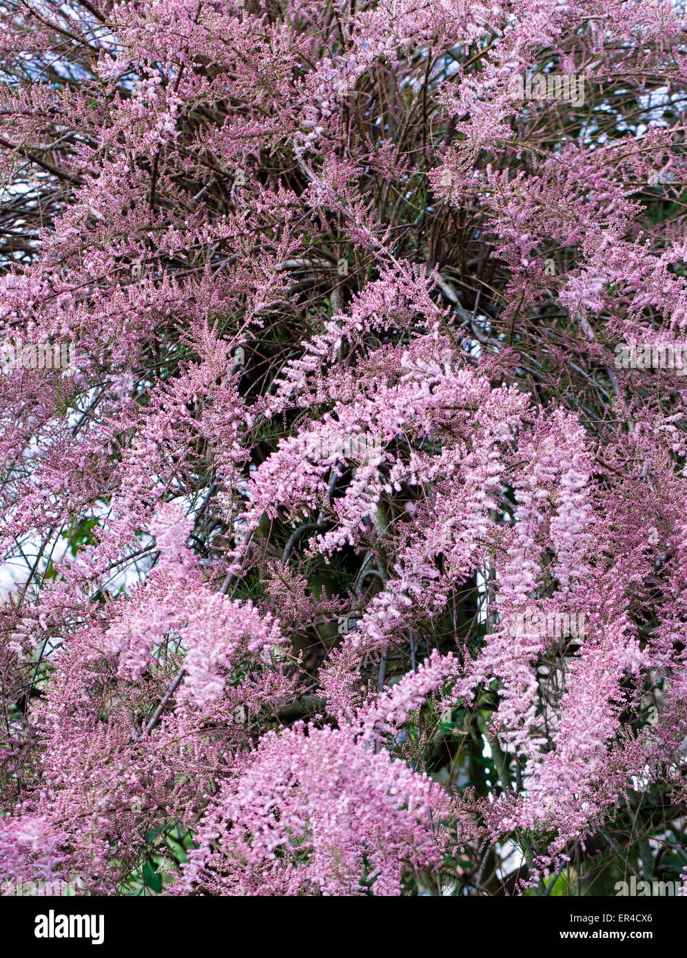 arbre tamarix rose qui fleurit au printemps banque d. Black Bedroom Furniture Sets. Home Design Ideas