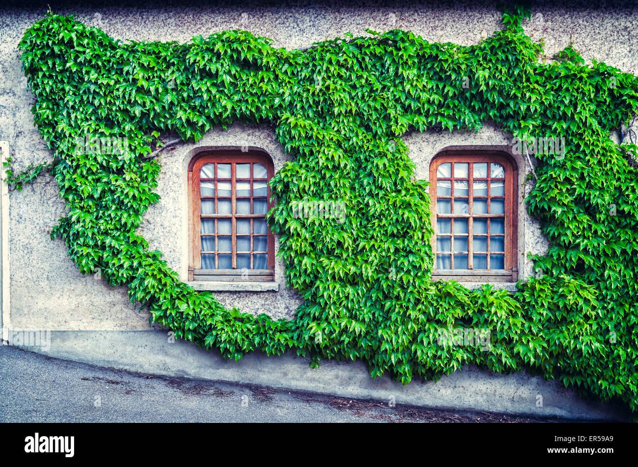 Lierre de fenêtre Photo Stock