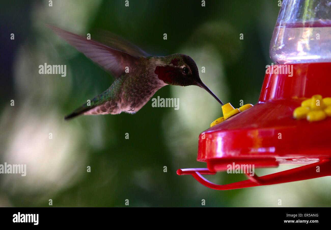 Humming Bird Photo Stock