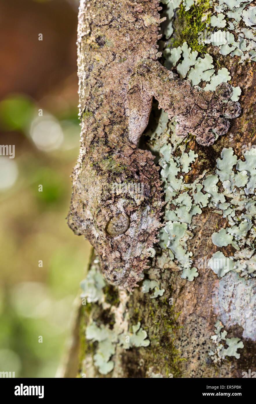 Gecko à queue de feuille moussus, camoflaged sur l'écorce d'un arbre, l'Uroplatus sikorae, Andasibe, Madagascar, Banque D'Images