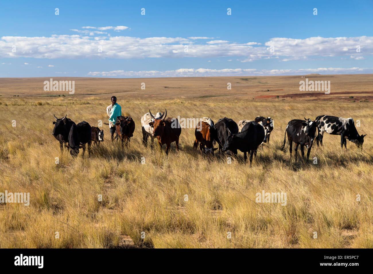 Troupeau de zébus dans les hauts plateaux du centre, Bara gardian, Madagascar, Afrique Photo Stock