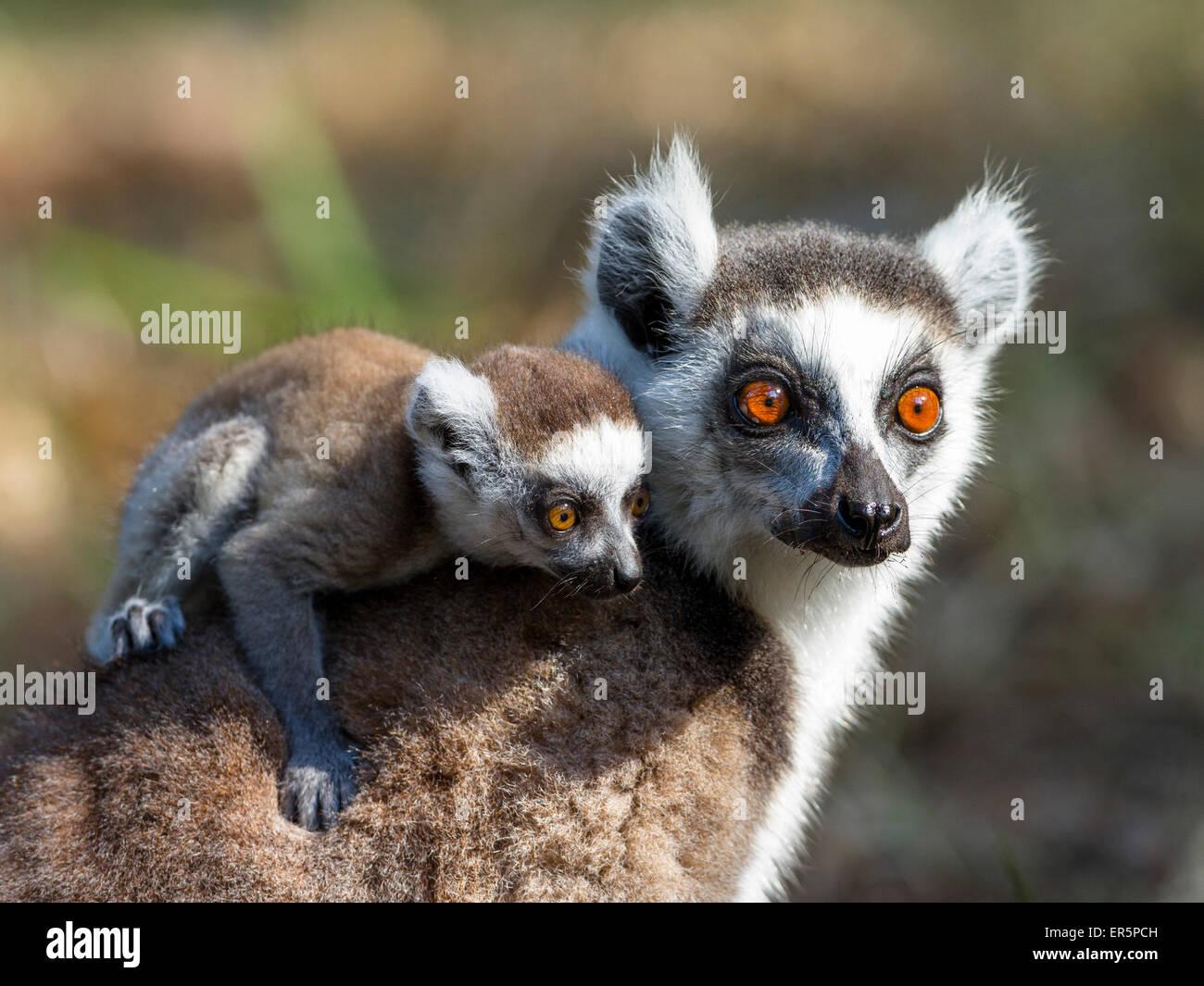 Lémurien Ringtailed avec bébé, Lemur catta, réserve de Nahampoana, au sud de Madagascar, Madagascar, Photo Stock