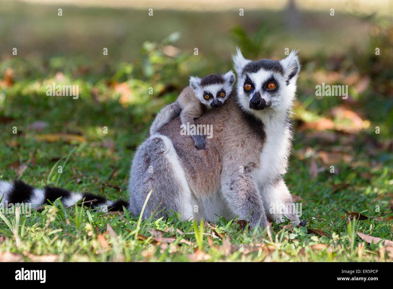 Lémurien Ringtailed avec bébé, Lemur catta, réserve de Nahampoana, Madagascar, Afrique du Sud Photo Stock