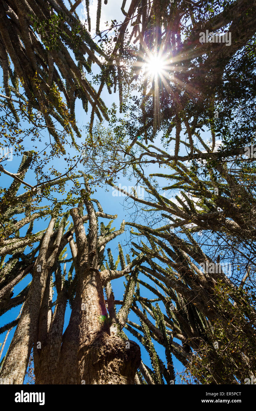 La Forêt épineuse, Alluaudia ascendens, Didiereaceae, Parc National d'Andohahela, au sud de Madagascar, Photo Stock