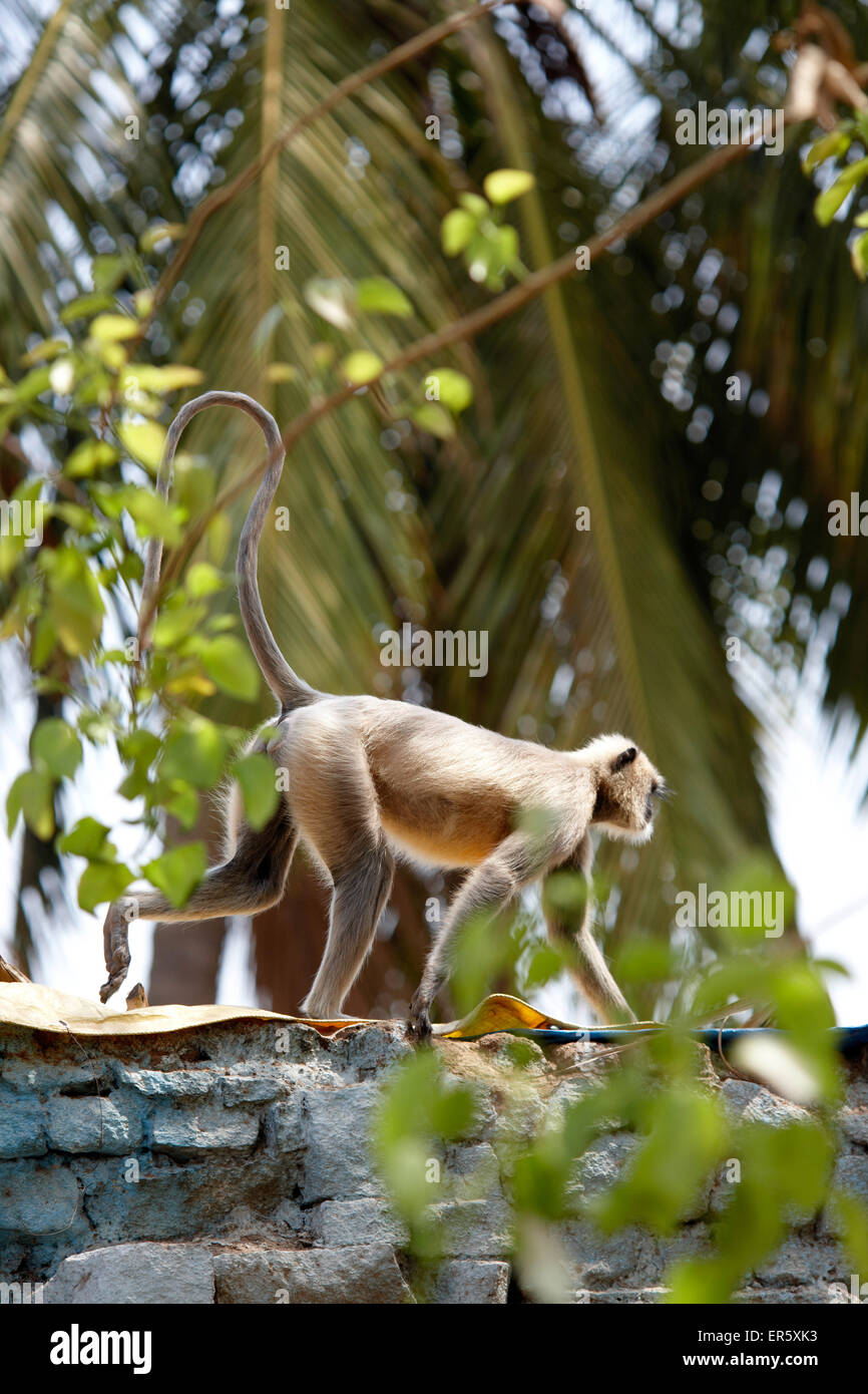 Gray langur, Hampi, Karnataka, Indien Photo Stock