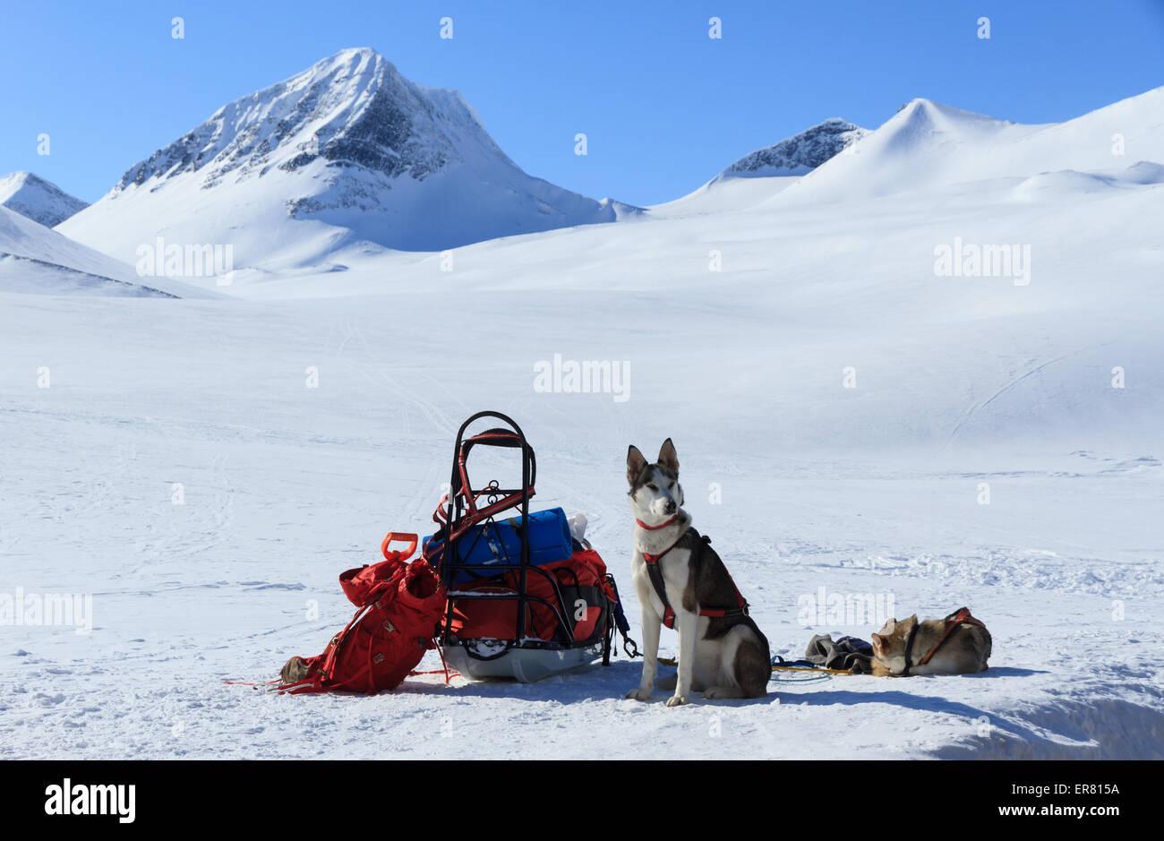 Une équipe de chiens de traîneau husky au travail par une journée d'hiver en Suède. Banque D'Images