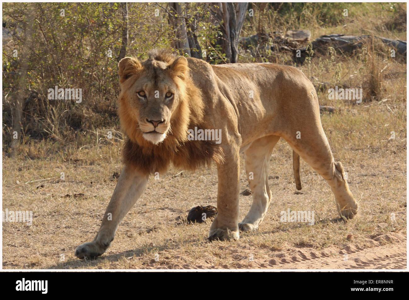 Lion mâle en mouvement Photo Stock