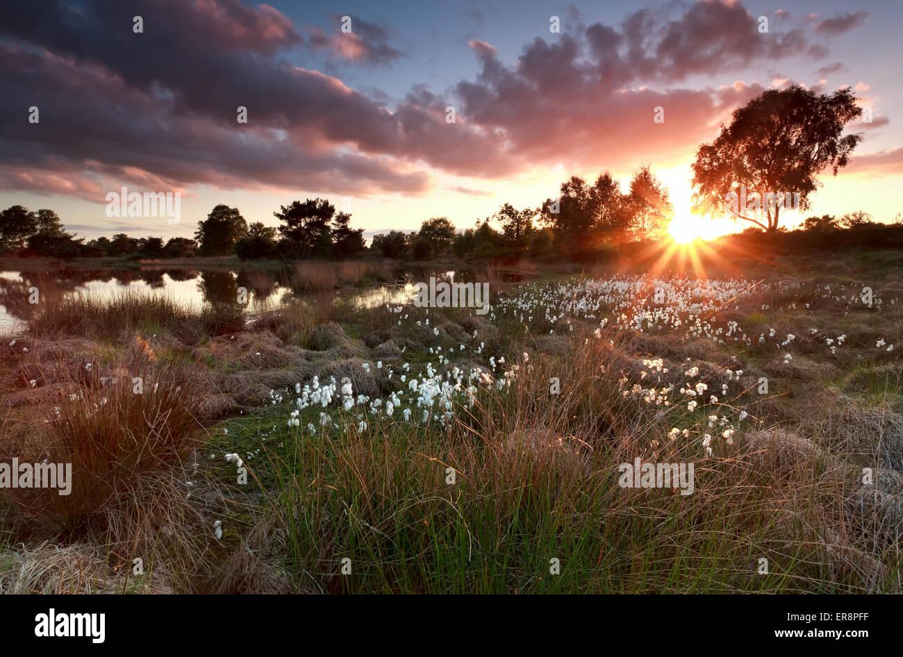 Coucher du soleil d'or sur le lac avec les linaigrettes, Drenthe, Pays-Bas Banque D'Images