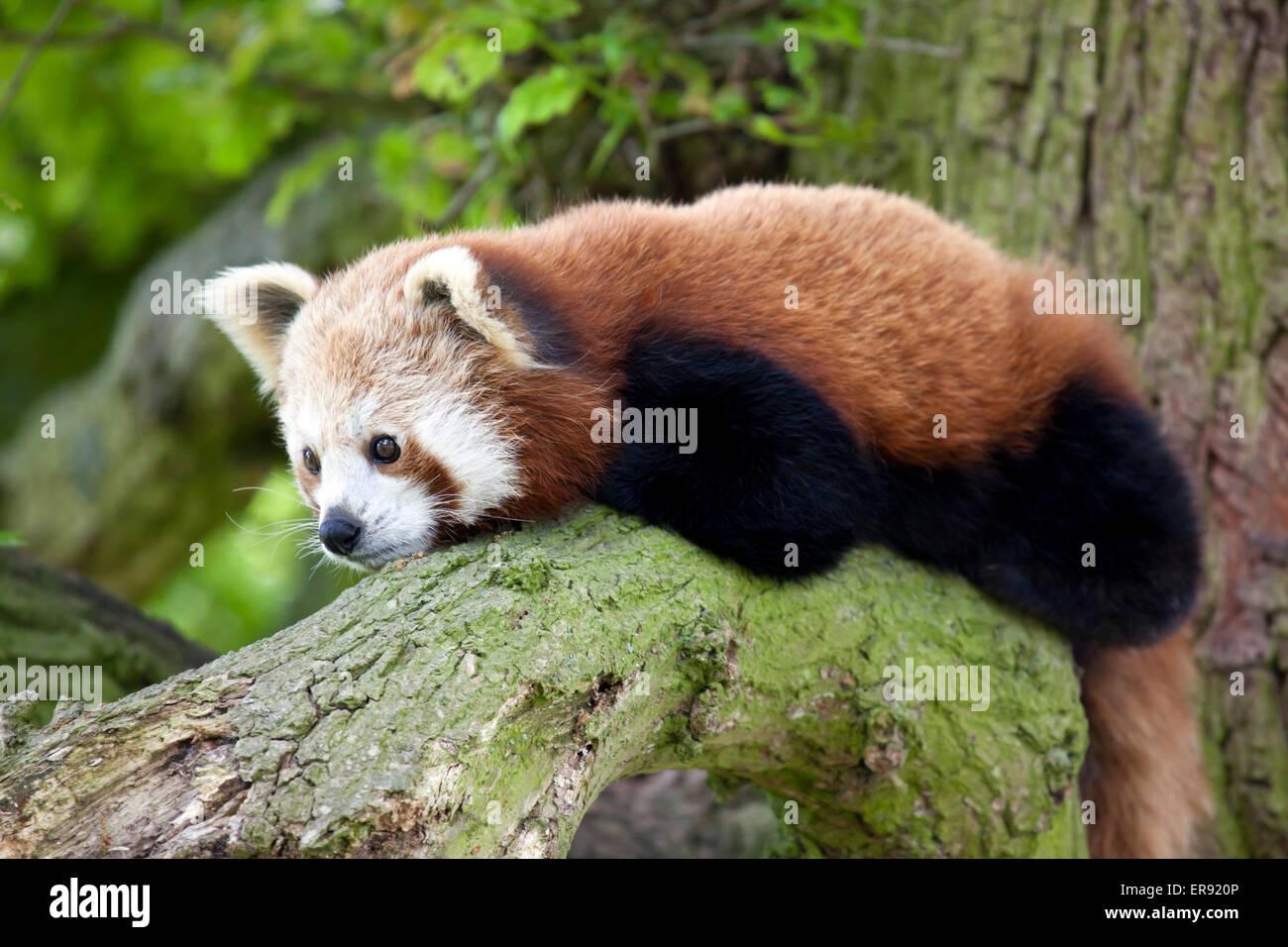 Un petit panda assis sur une branche d'arbre Photo Stock