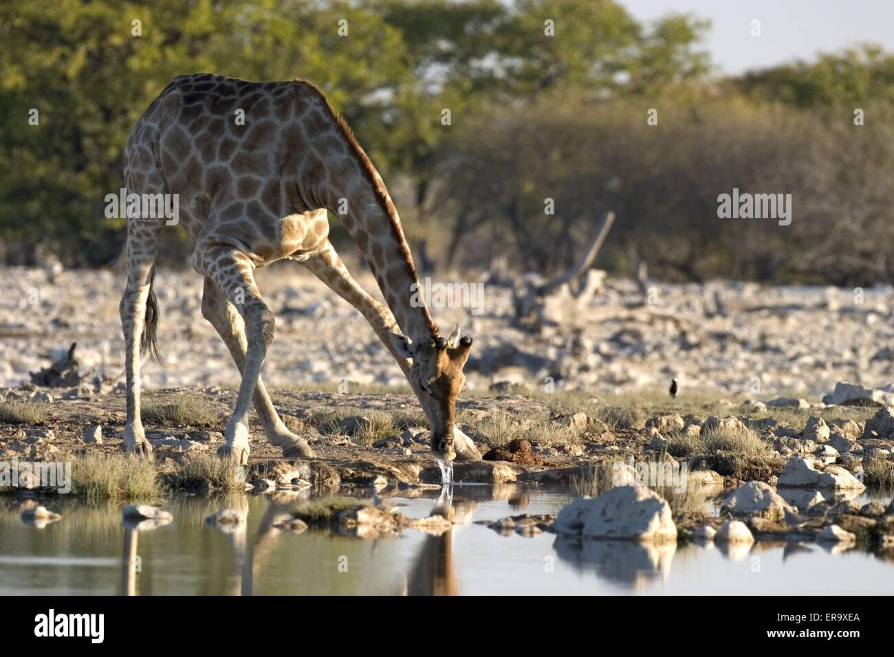 Girafe potable Photo Stock