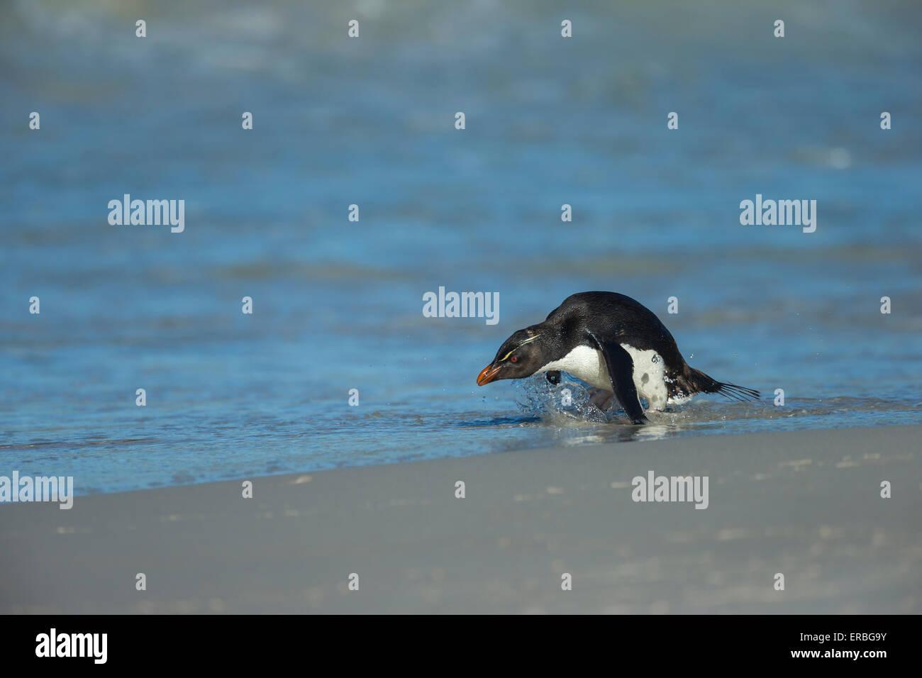 Penguin Eudyptes chrysocome Southern rockhopper, des profils d'entrer dans l'eau, nouvelle Île, Îles Photo Stock