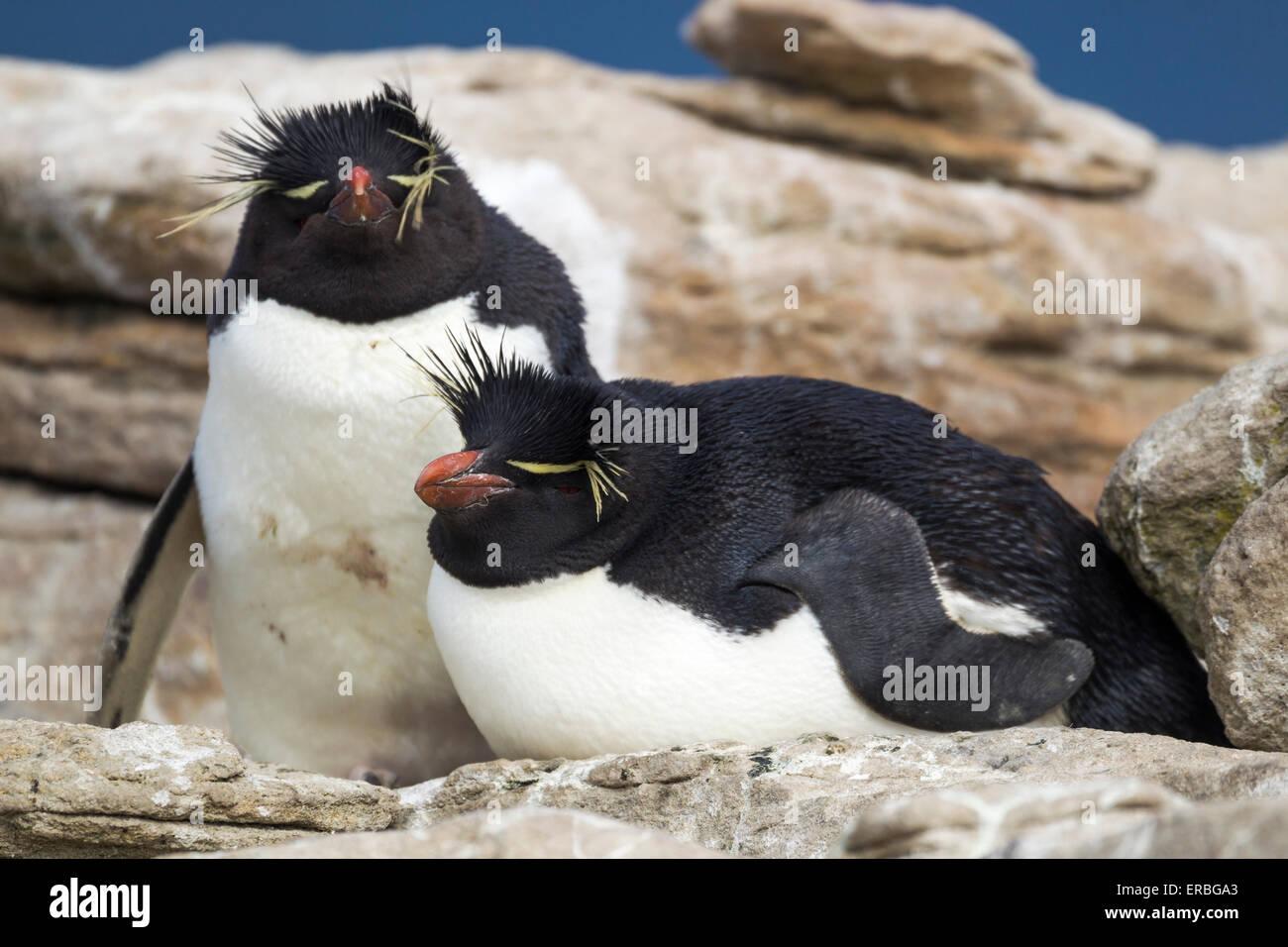 Penguin Eudyptes chrysocome Southern rockhopper, Nouvelle Île, Îles Falkland en décembre. Photo Stock