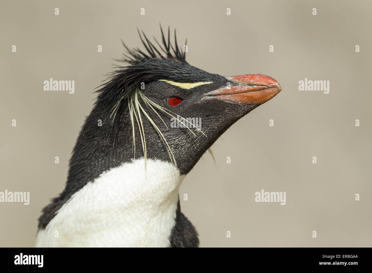 Penguin Eudyptes chrysocome Southern rockhopper, adulte tête profil, Nouvelle Île, Îles Falkland Photo Stock