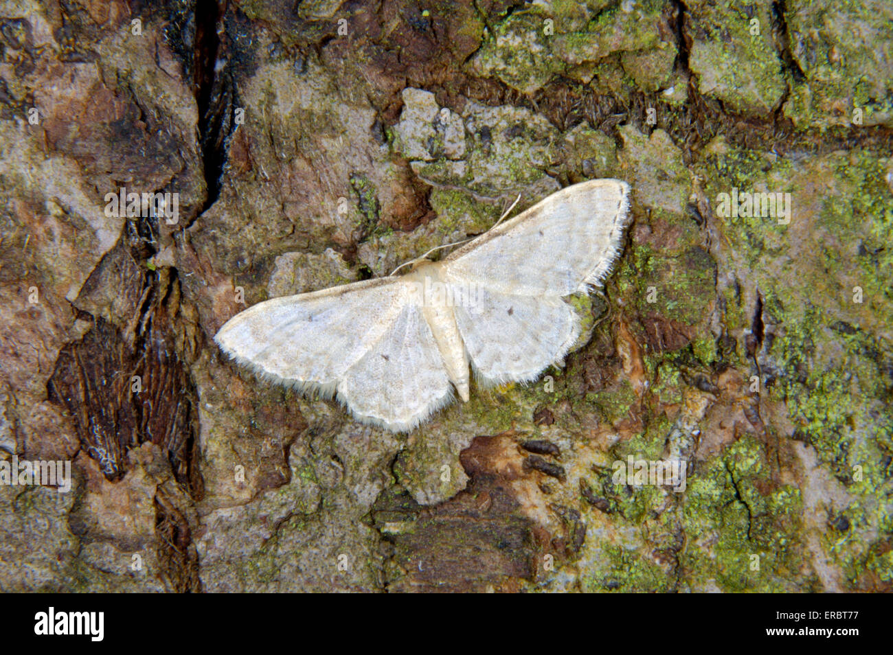 Petit Ventilateur-footed vague - Idaea biselata Photo Stock