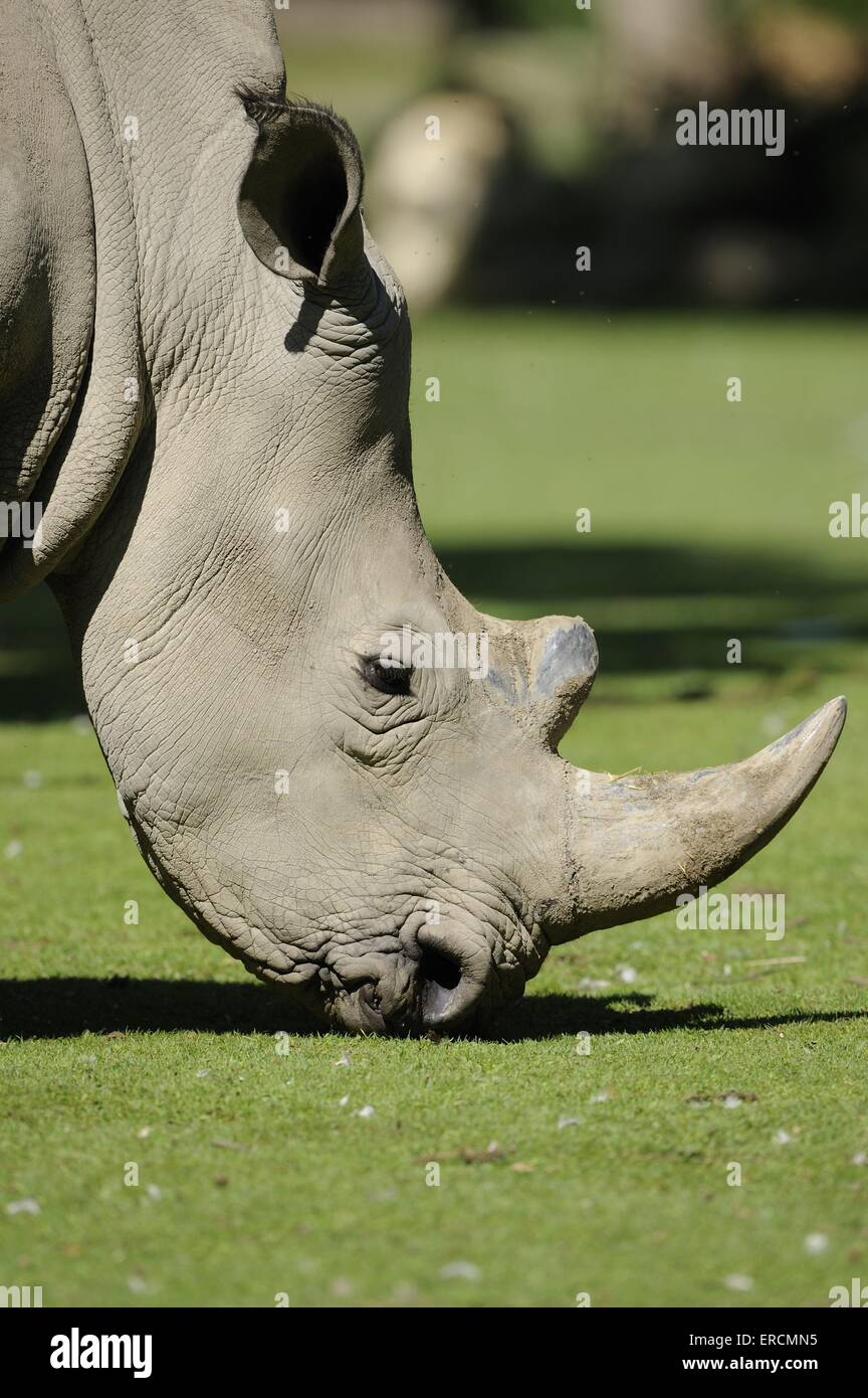 Square-lipped rhino Photo Stock
