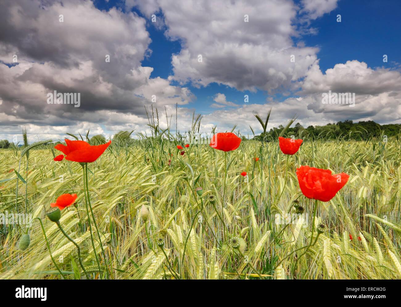 Coquelicots dans le champ de blé avec de beaux nuages ciel Photo Stock