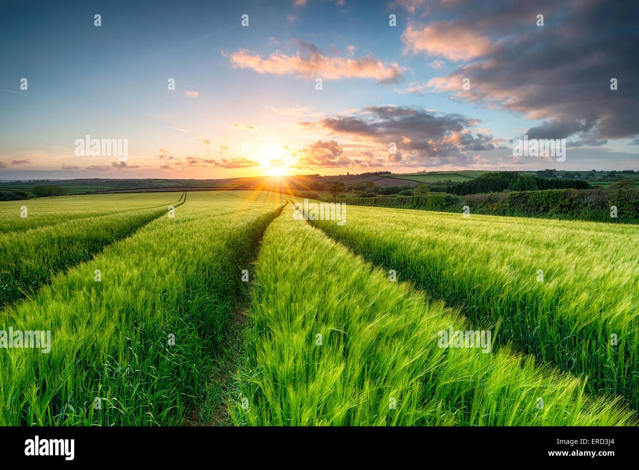 Coucher de soleil sur des champs d'orge maturation près de Padstow à Cornwall Photo Stock