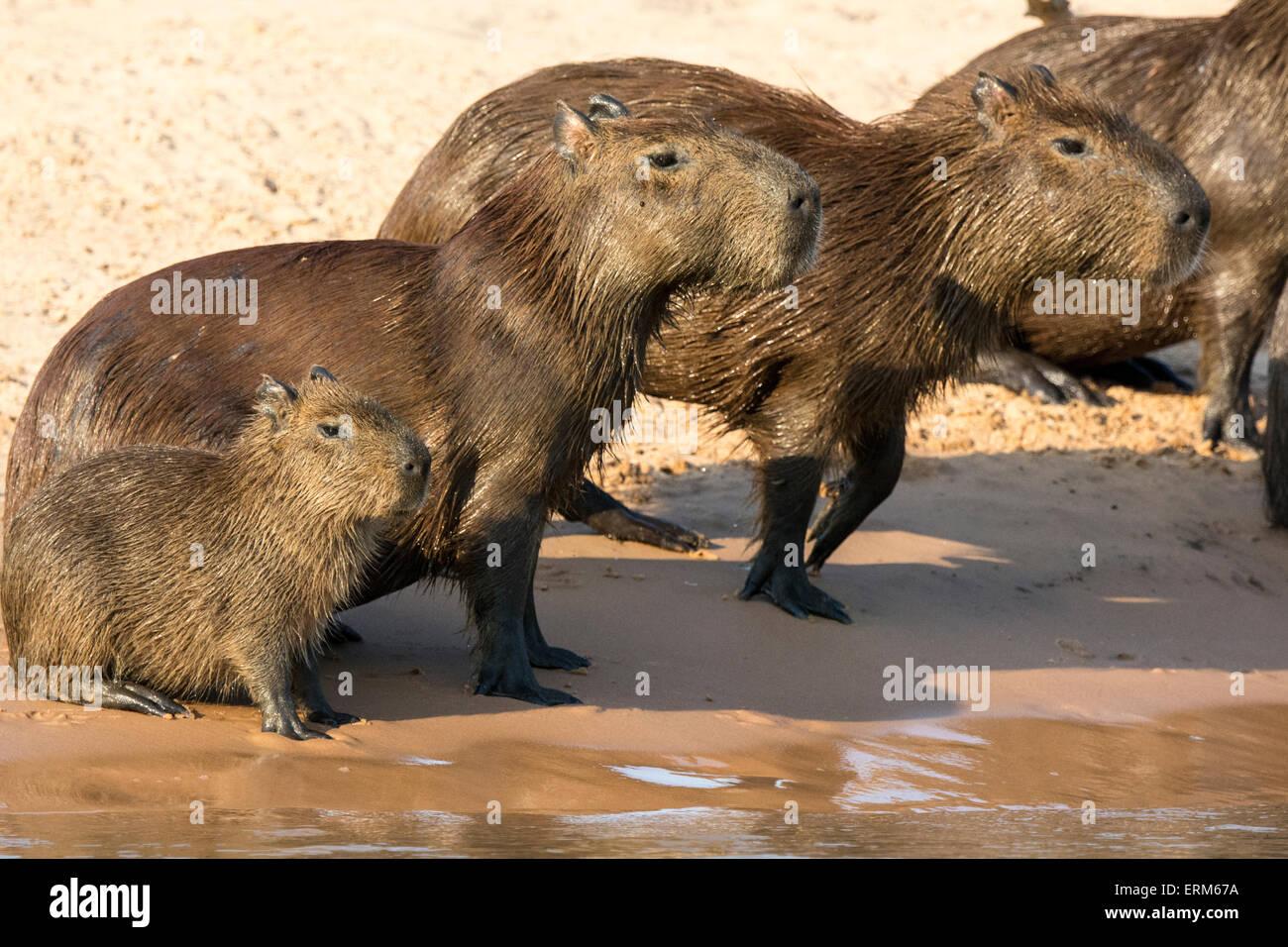 Famille de capybaras, Hydrochaeris hydrochaeris sauvages, sur le bord d'une rivière dans le Pantanal, Brésil, Amérique du Sud Banque D'Images