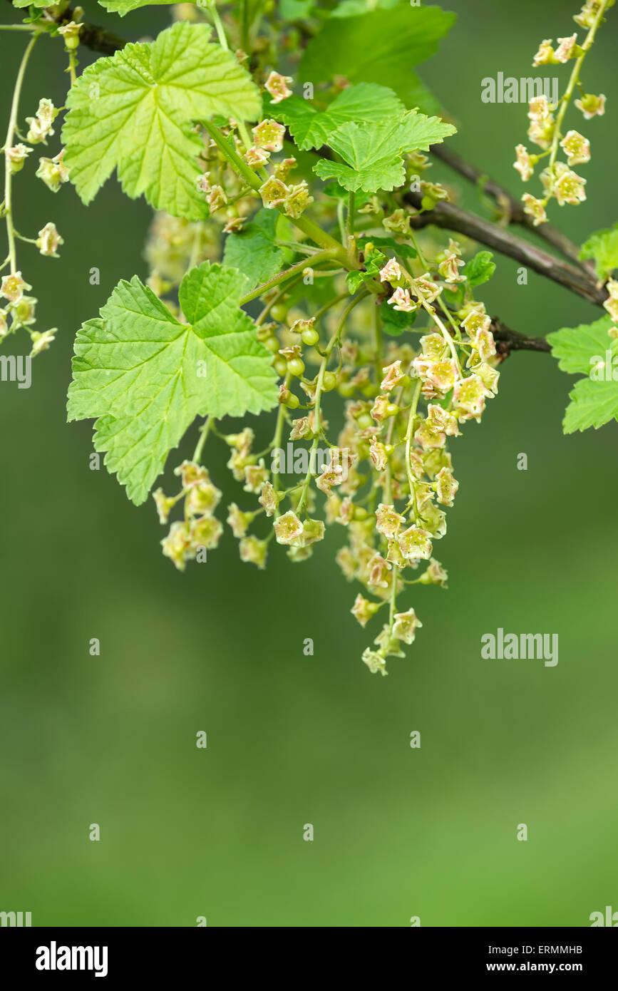 Libre De Cassis Ribes Nigrum Arbuste A Fleurs Au Printemps