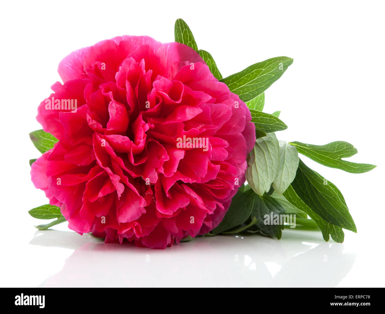 La pivoine rouge flower isolated on white Banque D'Images