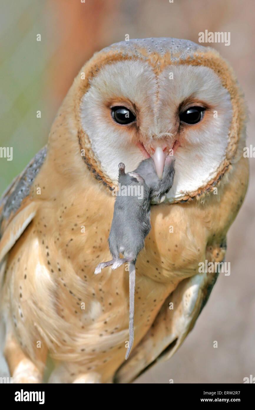 Barn Owl holding souris en bec, gros plan portrait Photo Stock