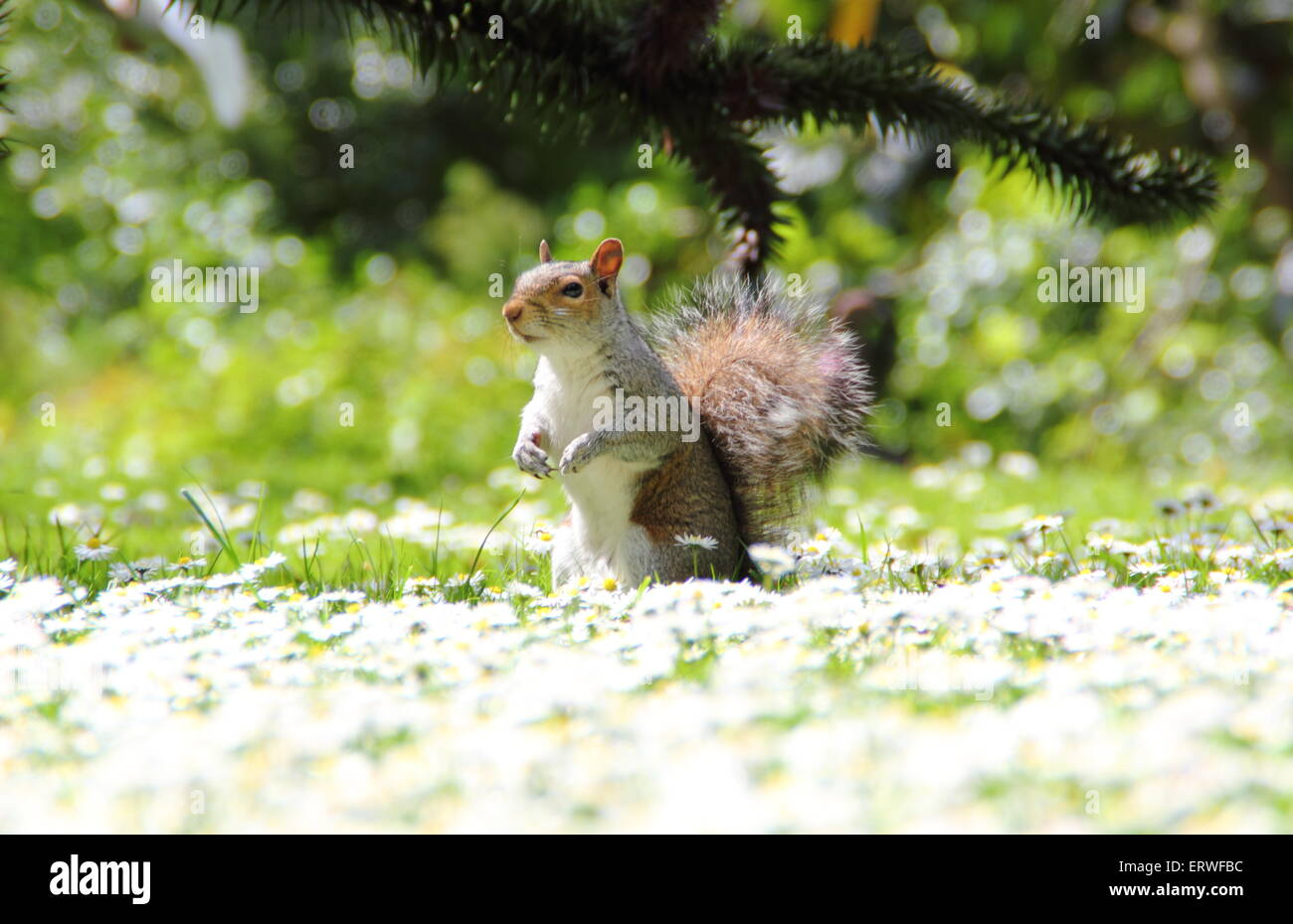 Un sqirrel gris (Sciurus carolinensis) cherche de la nourriture chez les marguerites dans un parc à Sheffield, Photo Stock