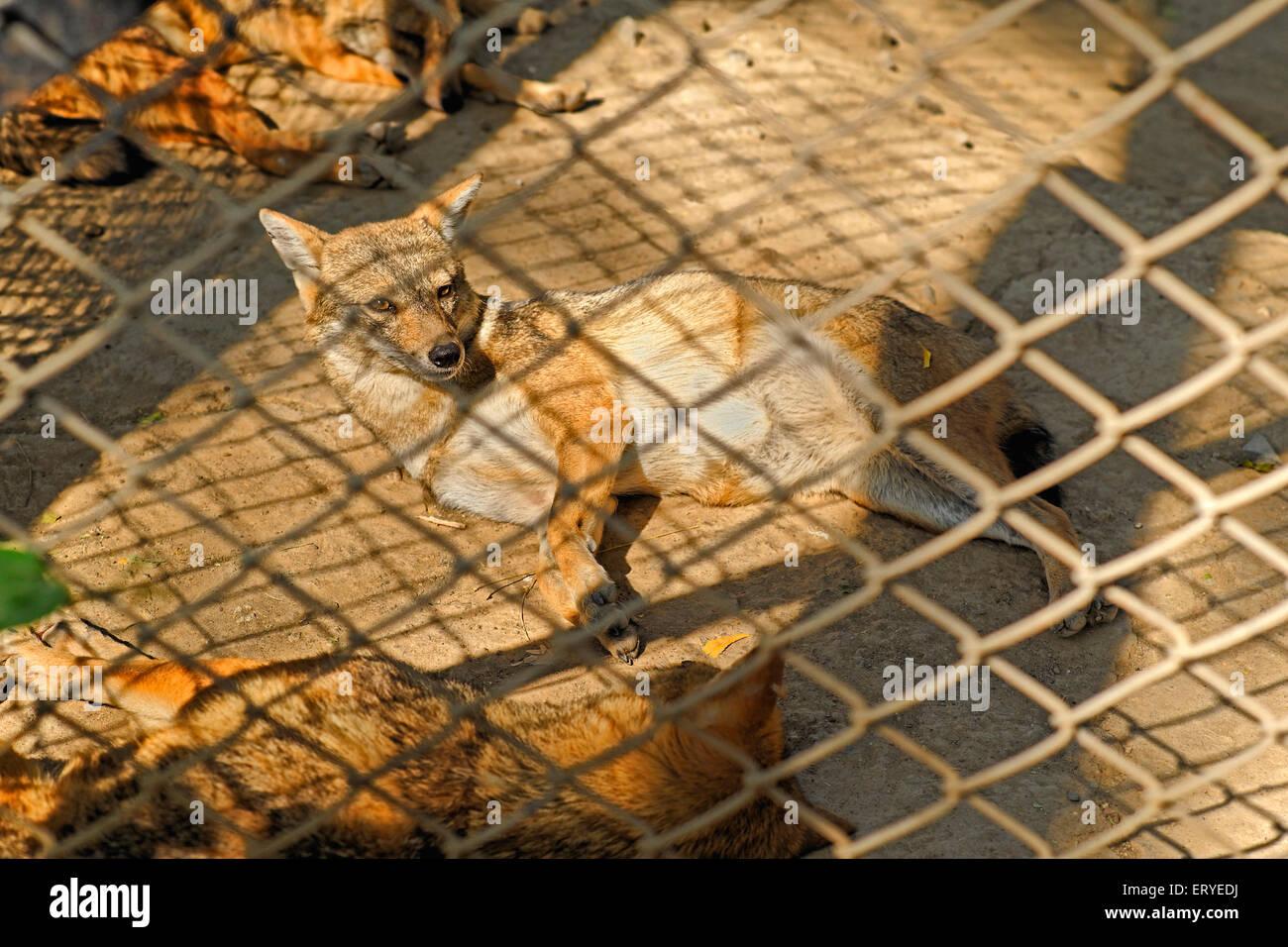 La vie sauvage; golden chacal Canis aureus; Sakkarbag; Junagadh; Gujarat Inde; Banque D'Images