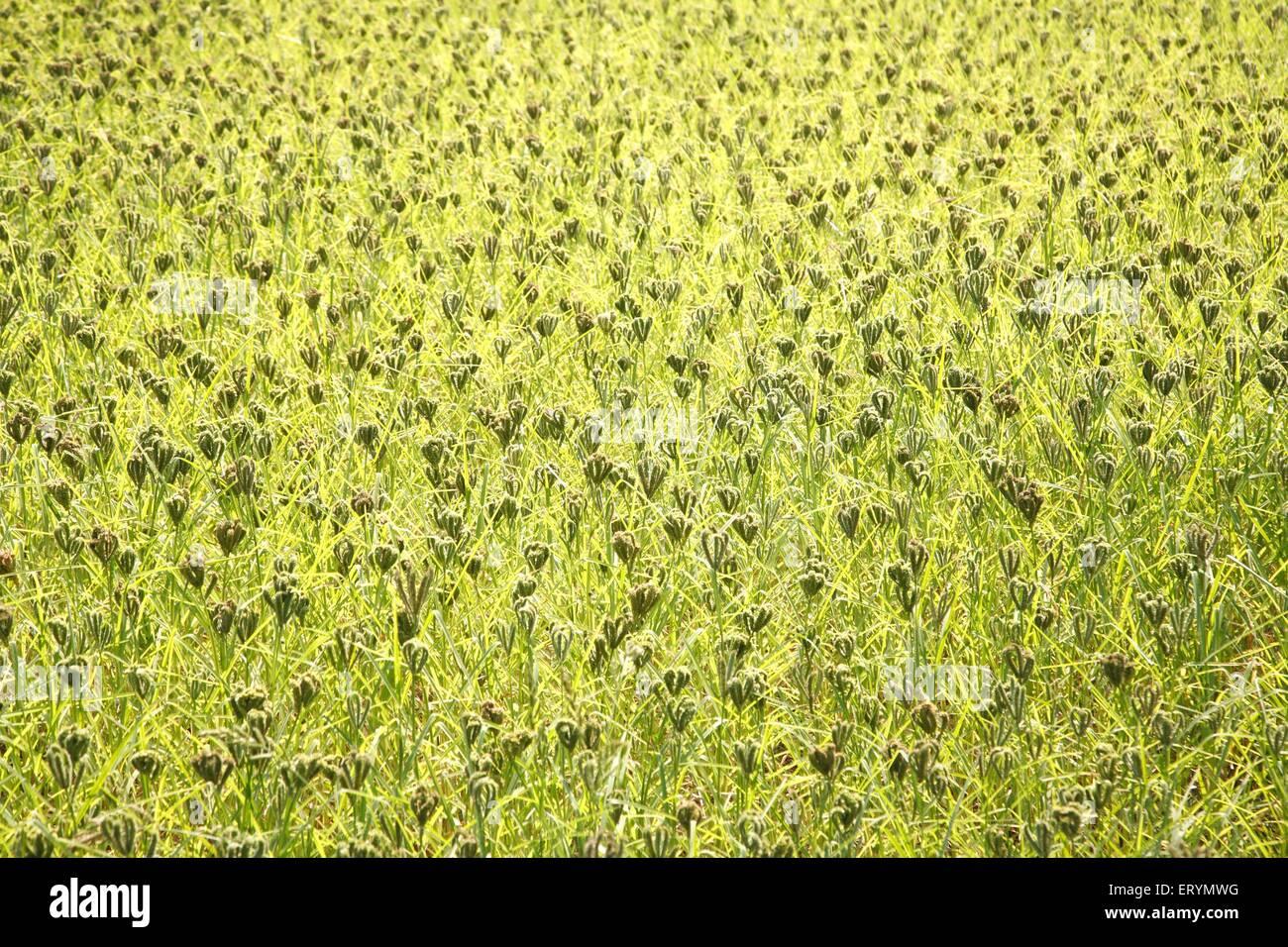 Nachni Ragi le petit mil Eleusine coracana cultures au champ; Sawantwadi;;; Inde Maharashtra Photo Stock