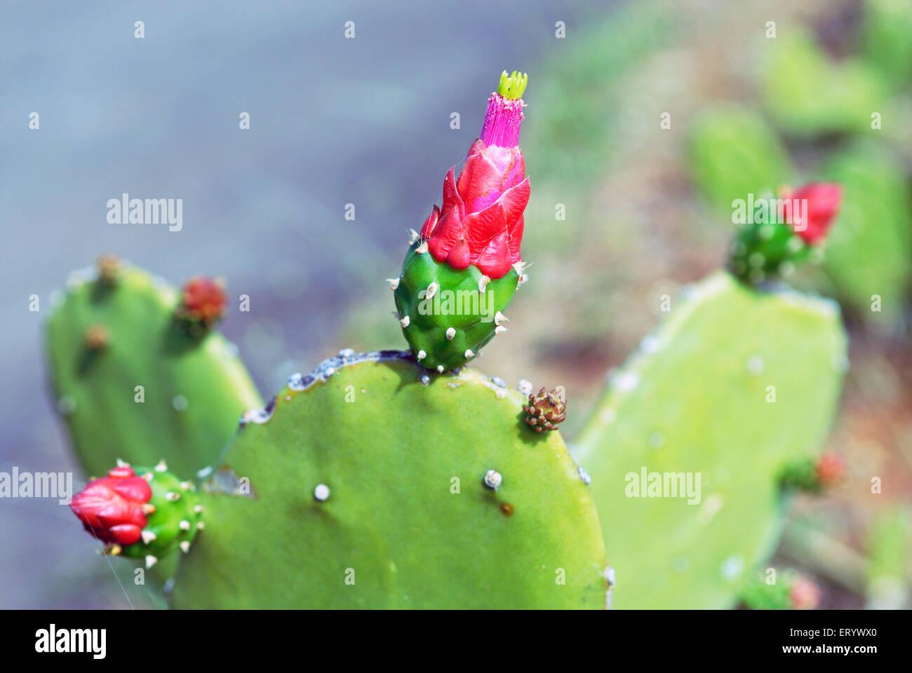 Fleur de cactus en fleurs; Bombay Mumbai Maharashtra;;; l'Inde Banque D'Images