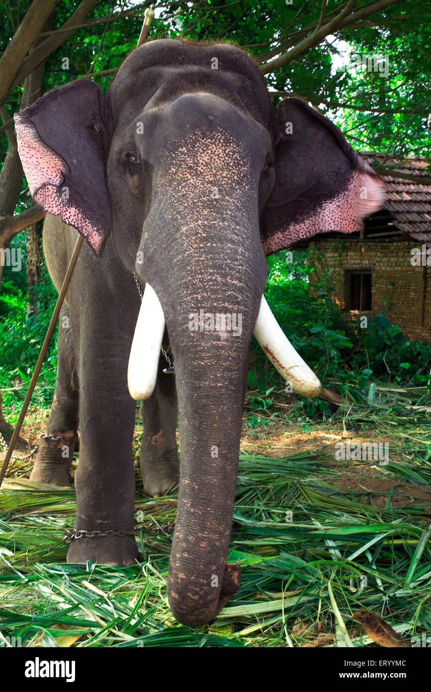 Éléphant Elephas maximus ; ; ; Inde Kerala Munnar Photo Stock