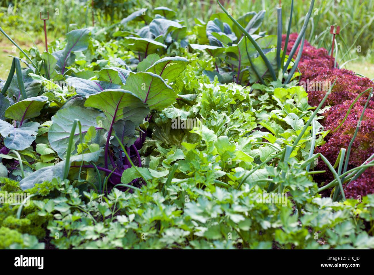 Jardin de légumes de persil, radicchio, laitue, navet, poireau Photo Stock