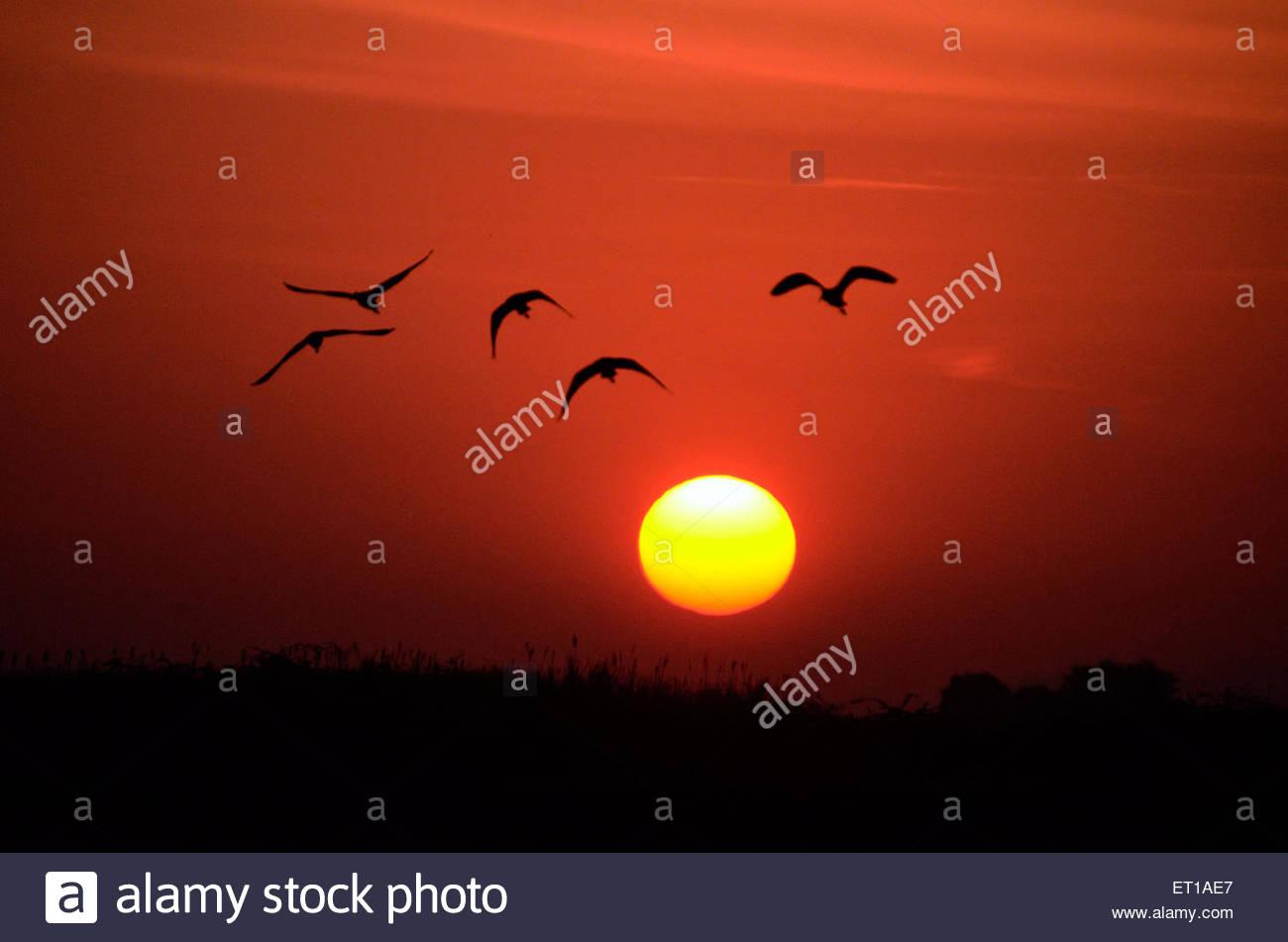 Vol d'oiseaux migrateurs au coucher du soleil , Pune , Maharashtra , Inde , Asie Banque D'Images