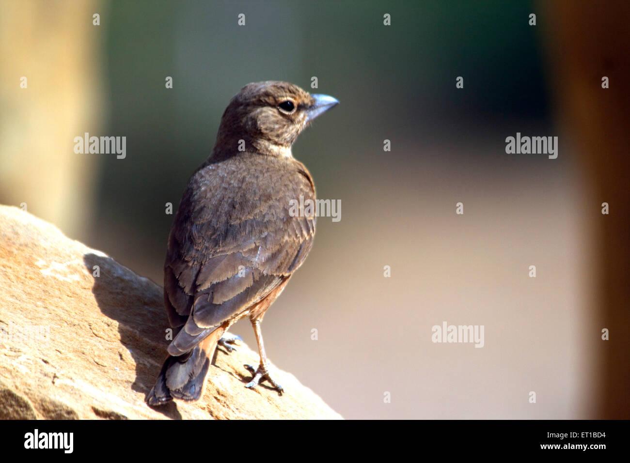 Queue oiseaux; rufus Finch lark ammomanes phoenicurus Kaladunger; près de Rann de Kutch Kutch;;; Photo Stock