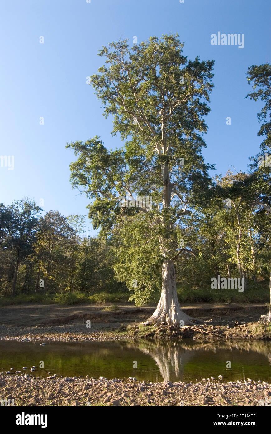 Un arbre sans frais et de réflexion à la sema doh place près de Melghat Amravati district sanctuaire , Maharashtra; Inde; Banque D'Images
