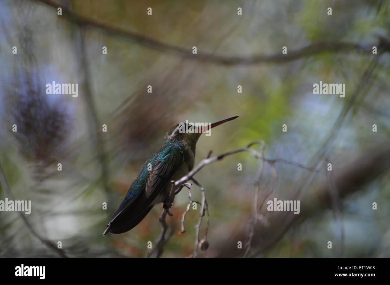Humming-bird Photo Stock