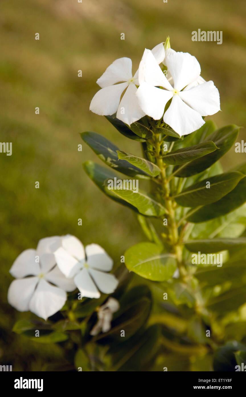 Fleur Blanche Nom Commun Creeping Phlox Phlox Subulata Nom