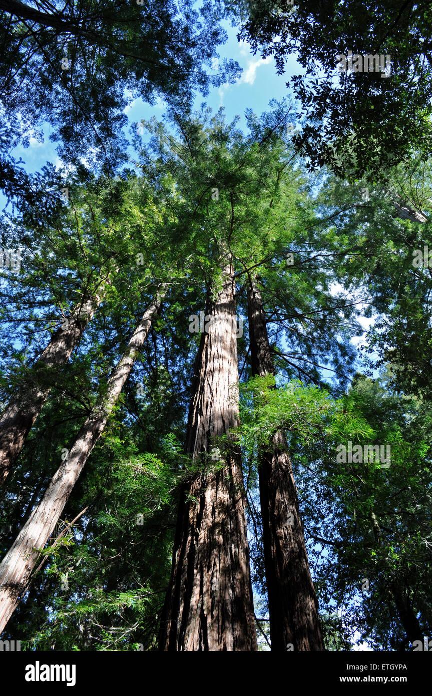 Big Basin Redwood State Park, Californie, USA Photo Stock