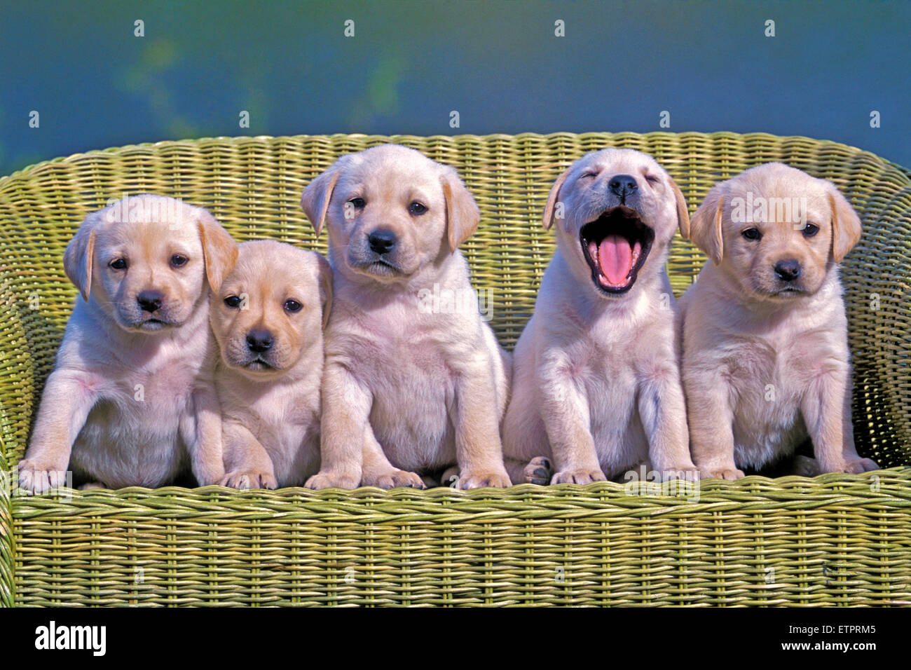 Cinq chiots Labrador Retriever, âgé de huit semaines posing in wicker chair Photo Stock