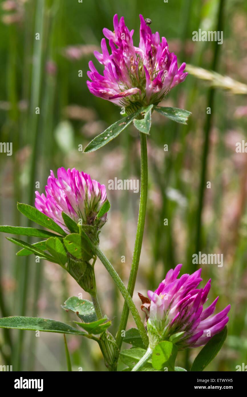 Trois Fleurs De Trefle Rouge Trifolium Pratense Banque D Images