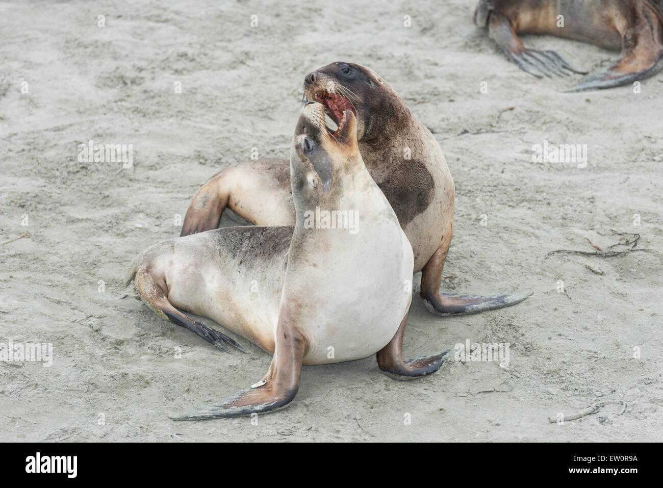 Les Lions de mer (Phocarctos hookeri), Dunedin, Otago, île du Sud, Nouvelle-Zélande, Banque D'Images