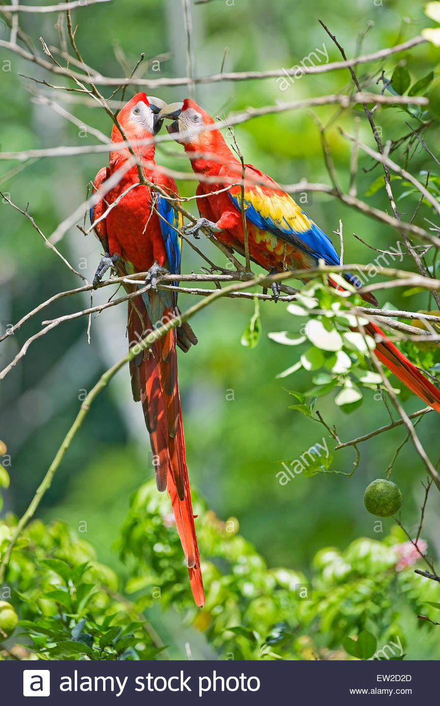 Aras rouges (Ara macao), Parc national de Corcovado., péninsule d'Osa, au Costa Rica Photo Stock