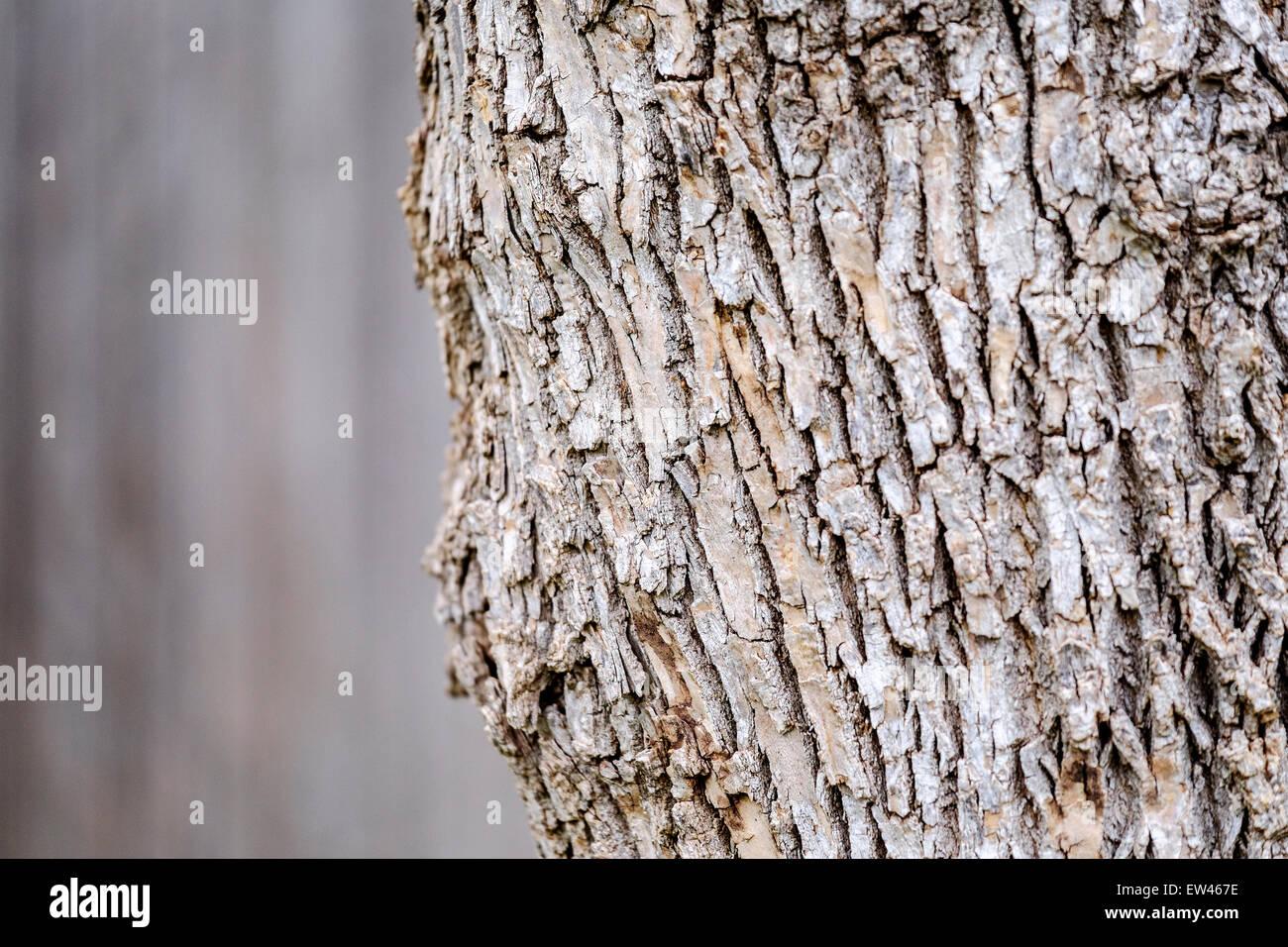 L'écorce d'un arbre frêne commun, Fraxinus excelsior, cultivés en Oklahoma, USA. Photo Stock
